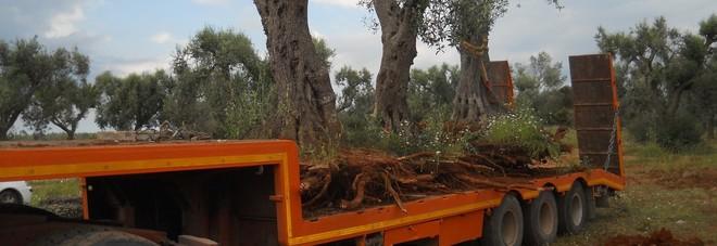 Gli ulivi spostati da Acquedotto