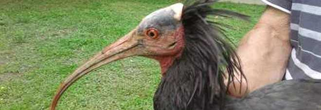 Sparito da 500 anni ricompare a Cuneo: ecco l'Ibis Eremita