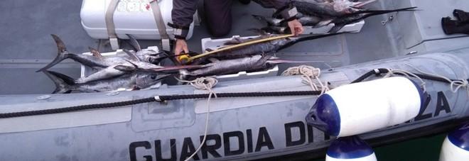 I finanzieri sequestrano novellame di pesce spada nel Golfo di Taranto