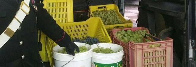 Avevano rubato 80 chili d'uva due anziani finiscono nei guai