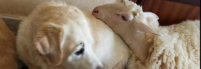 Torquato, l'agnello salvato dal macello che crede di essere un cane