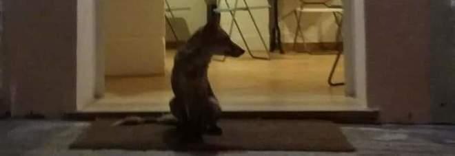 Metti una sera a cena...con la volpe Gegia, che mangia al ristorante