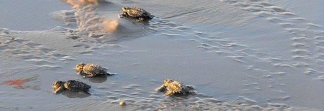 Due nidi di caretta caretta sulla costa leccese E a Manduria, la tartaruga disturbata dai bagnanti torna in acqua