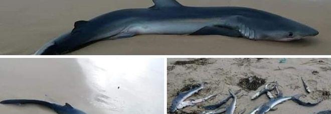 Lo squalo rinvenuto sulla spiaggia
