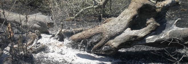 Ulivi in fiamme. L'attivista denuncia: «E' stato un attentato»