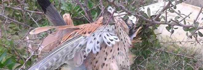 Falchetto ucciso dai cacciatori: la rabbia sui social