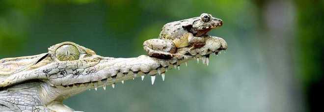 Il rospo scrocca il passaggio al coccodrillo. Ma si salva solo per un caso