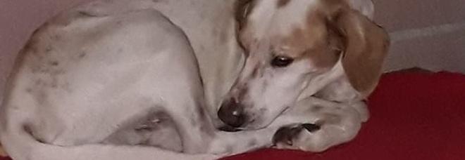 Anziano muore in casa, il cane gli strappa e morde alcune parti del corpo, come la testa