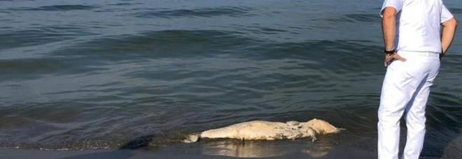 uno dei delfini rinvenuti morti sul litorale toscano (immagine pubblicata da Ansa)