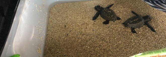 Una trentina di tartarughe appena nate schiacciate dalle auto sulla strada