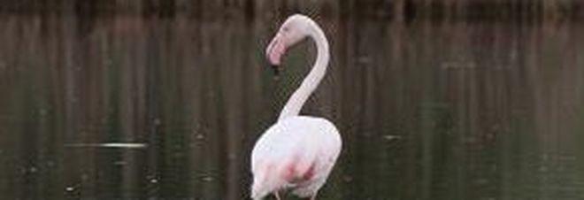 Sorpresa: un fenicottero rosa nelle acque di Torre Guaceto