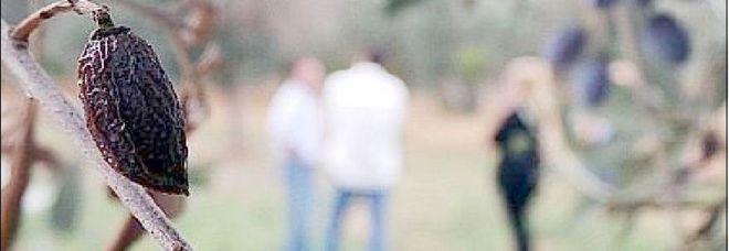 Ulivi abbattuti a Oria, ma è pioggia di ricorsi nelle campagne brindisine: molti proprietari impugneranno l'atto