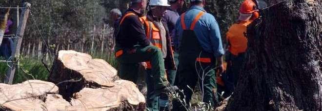 Xylella, ruspe negli uliveti di Oria: eradicati i primi sette alberi. La protesta degli ambientalisti