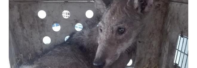"""Il cucciolo sta meglio: è il primo lupo """"domestico"""" in Puglia"""