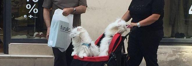 «Il caldo ci fa un baffo». I due cuccioli in giro sul passeggino nel centro storico di Lecce