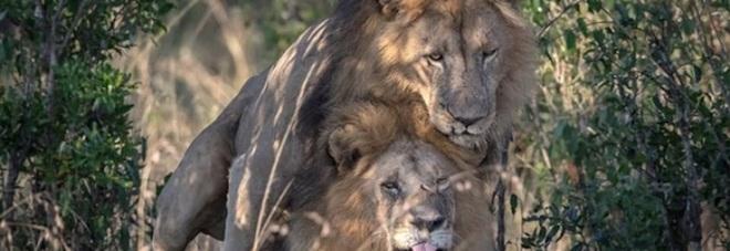 Kenya, fotografo inglese immortala due leoni gay: lo scatto fa scalpore