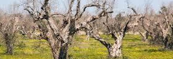 La xylella ha distrutto gli olivi