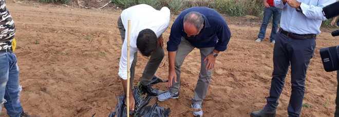 Xylella, piantati a Caprarica 2.500 ulivi di favolosa