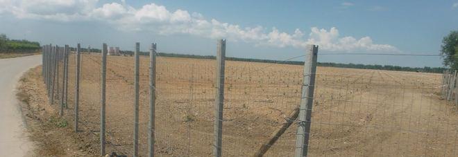 Via 800 alberi di ulivo per piantare vigneti, scoperto dalla forestale