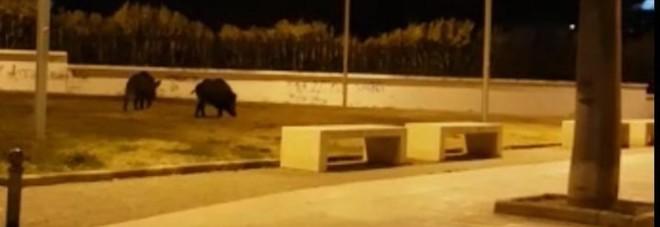 Cinghiali in città: l'insolita coppia avvistata alla periferia di Bari