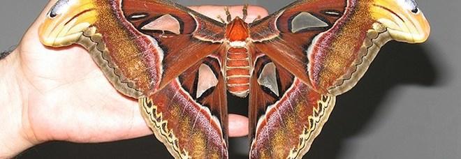Calimera, un giorno tra le farfalle e con la neonata Atlas attacus