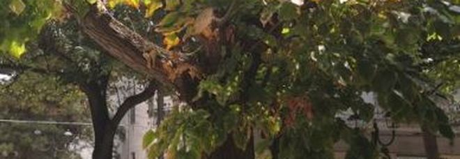 Grosso ramo di tiglio cade vicino alla villa comunale