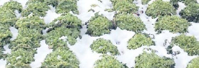 Neve, rincari fino al 350% sui prezzi degli ortaggi: volano bietole e cipollotti