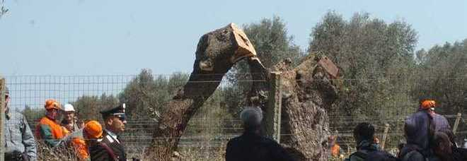 Xylella, Vendola: «Sventato il rischio di desertificazione del Salento». Tweet del ministro Martina: «Da Cdm fondo di solidarietà e piano olivicolo»
