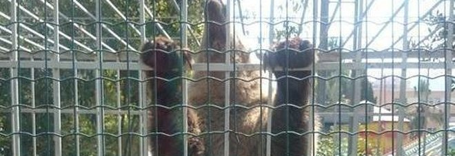 L'orsa Luna nel parco di Valona