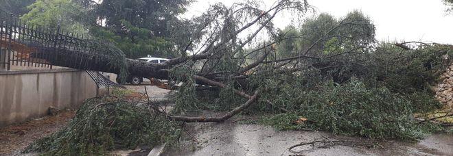 Uno degli alberi abbattuti dal forte vento