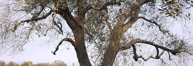 Ulivo colpito da xylella nelle campagne di Oria