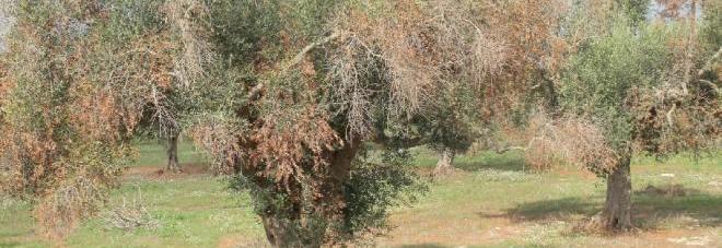 Lo studio dell'Efsa: «La xylella è la causa primaria del disseccamento degli ulivi nel Salento»