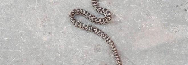Scambiato per una vipera e ucciso ma era un serpente innocuo. E protetto