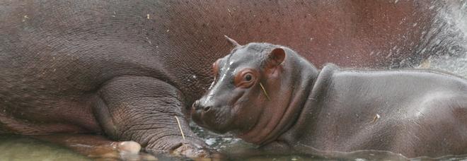 Festa allo ZooSafari: è nato un ippopotamo/La foto