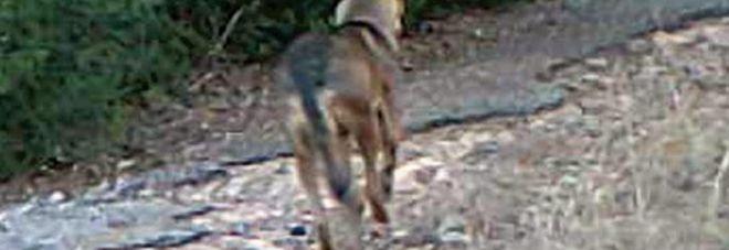 C'è anche la prova del Dna: il lupo è tornato nel Salento