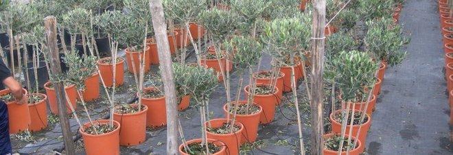 Xylella, gli ulivi resistenti ora costano il 180% in più «Fermate le speculazioni»