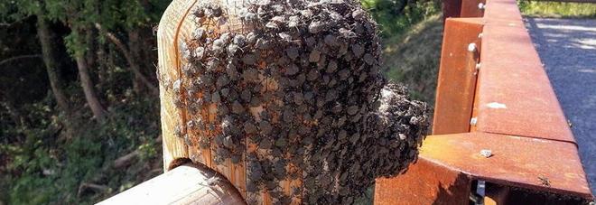Invasione delle cimici, città e paesi presi d'assalto: frutta in pericolo