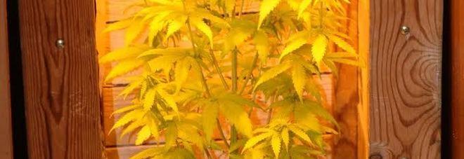 Ai domiciliari ma coltiva marijuana in camera da letto