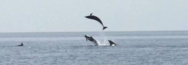 Spettacolare carosello di delfini davanti alla costa