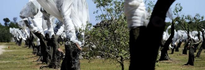 Xylella, abbattuti due ulivi nell'area cantiere di Tap