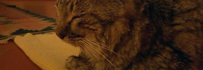 Fa 140 chilometri in un anno e mezzo per tornare a casa: il gatto muore tra le braccia della sua padrona